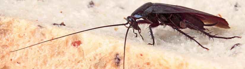 Cucaracha Cabecera