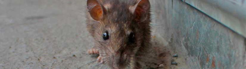 Cómo Limpiar Los Excrementos De Ratón