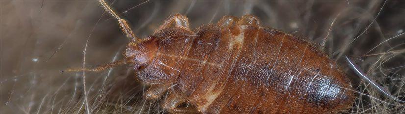 Como Detectar Y Eliminar Una Plaga De Chinches